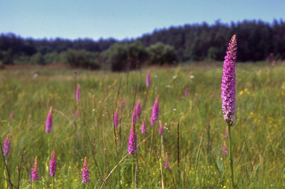 zmiennowilgotne łąki trzęślicowe (Molinion)